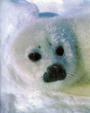 White_seal_in_snow